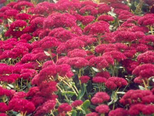 16红叶景天.jpg
