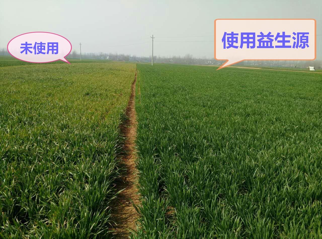 小麦4_.jpg