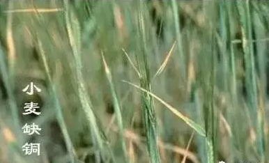 小麦5.png