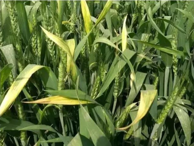 小麦7.png