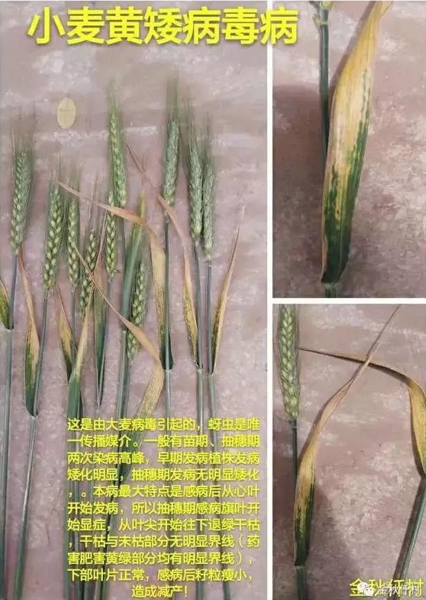 小麦8.png