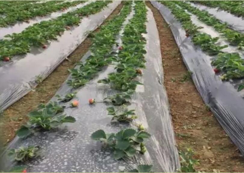 草莓种植地膜2.jpg