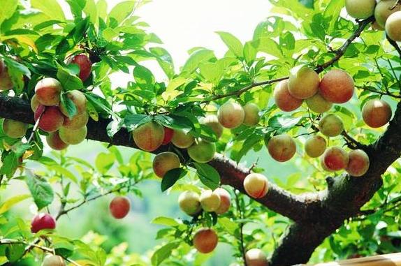 秋季果園管理