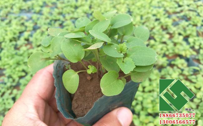 二月兰 宿根花卉-青州市坤盛花卉苗木有限公司