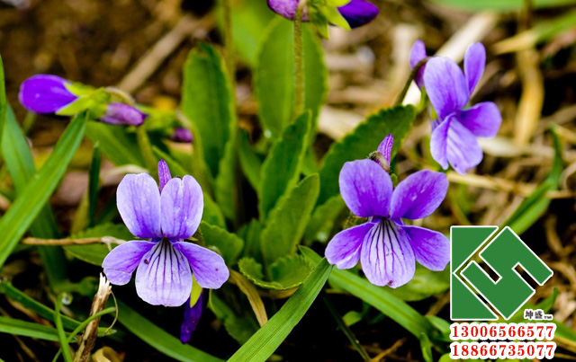 紫花地丁01.jpg
