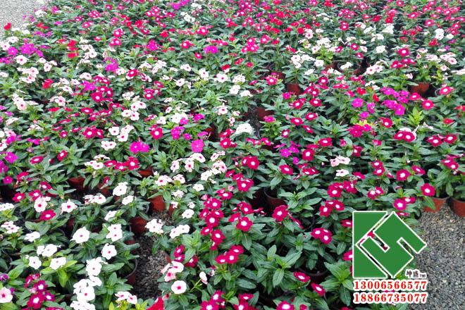 长春花|时令草花-青州市坤盛花卉苗木有限公司