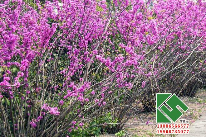 紫荆04.jpg