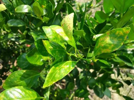 柑橘7.png
