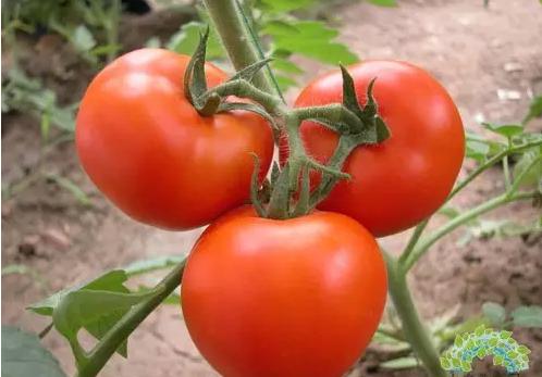 蔬菜1.png