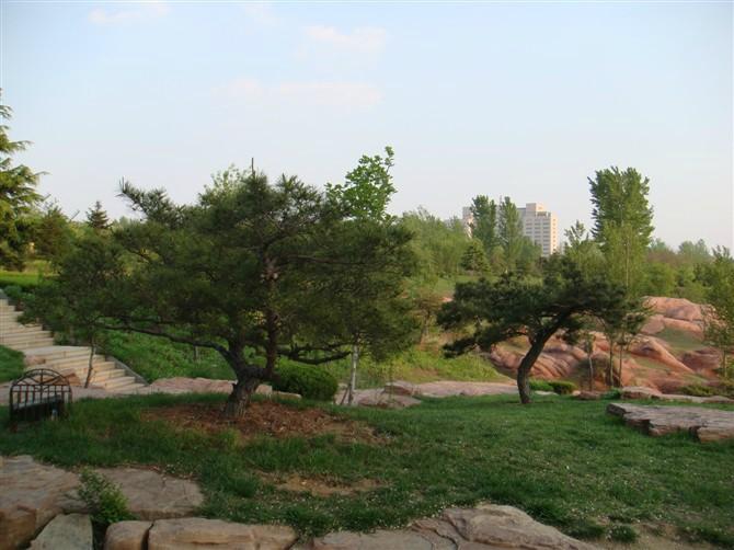 工程的綠化松樹 .png