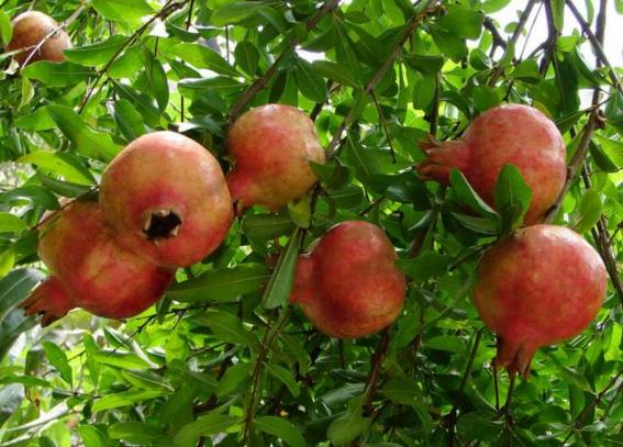 果树5.png