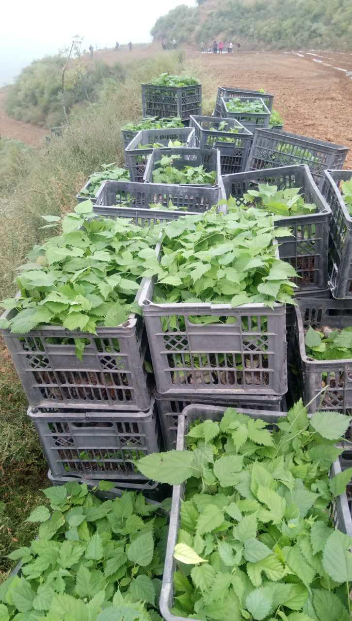 构树苗|构树组培苗-陕西中楮农牧生态科技有限责任公司