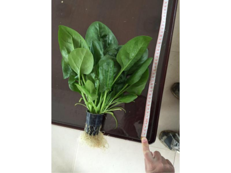 菠菜1.jpg