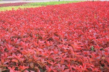 红叶石楠.jpg
