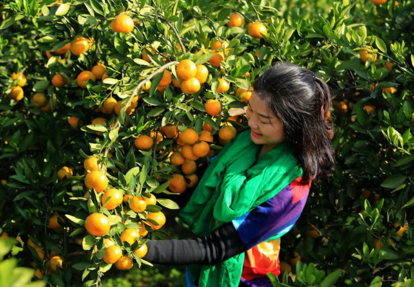 万亩桔园采摘活动|景区特色-湖北省丹江太极峡风景名胜旅游开发有限公司