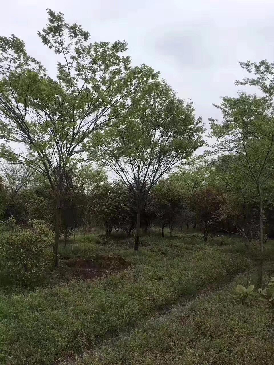 榉树|乔木苗木-极速PK拾登录有限公司