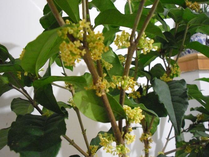 10公分桂花树的养育方法|行业资讯-济南大自然园林绿化工程有限公司
