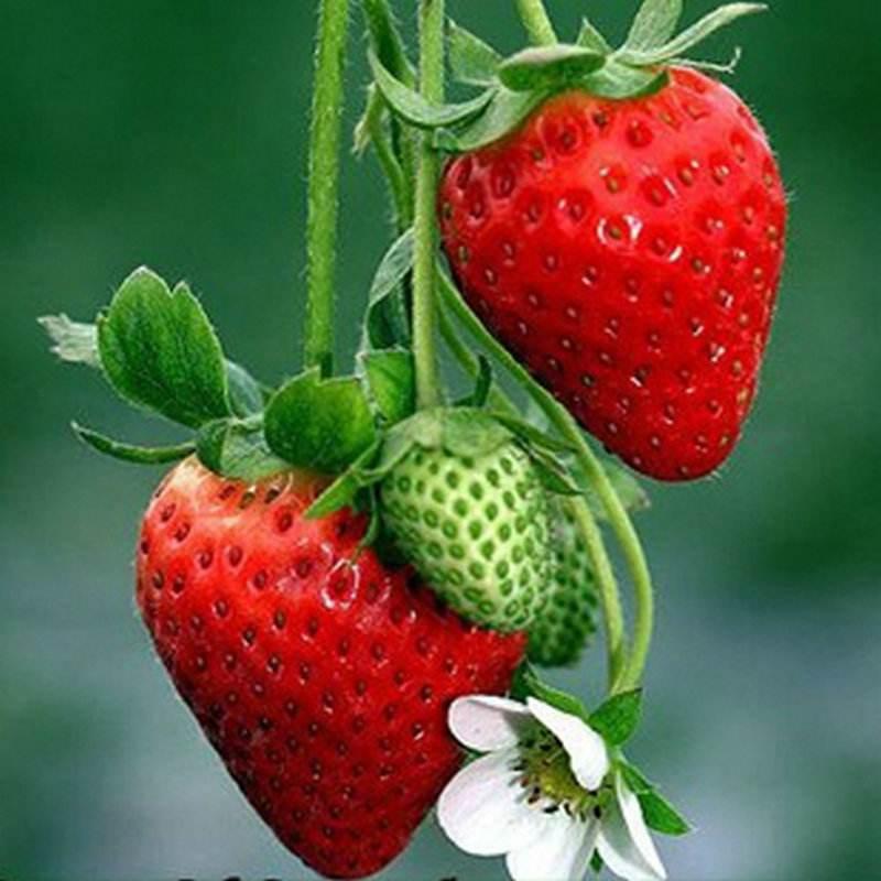 廈門水果采摘--草莓|草莓-廈門雷公山農業休閑山莊有限公司