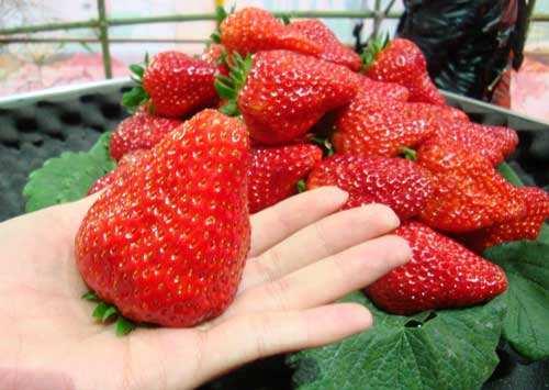 廈門水果采摘--草莓