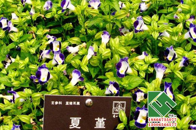 夏堇|时令草花-青州市坤盛花卉苗木有限公司
