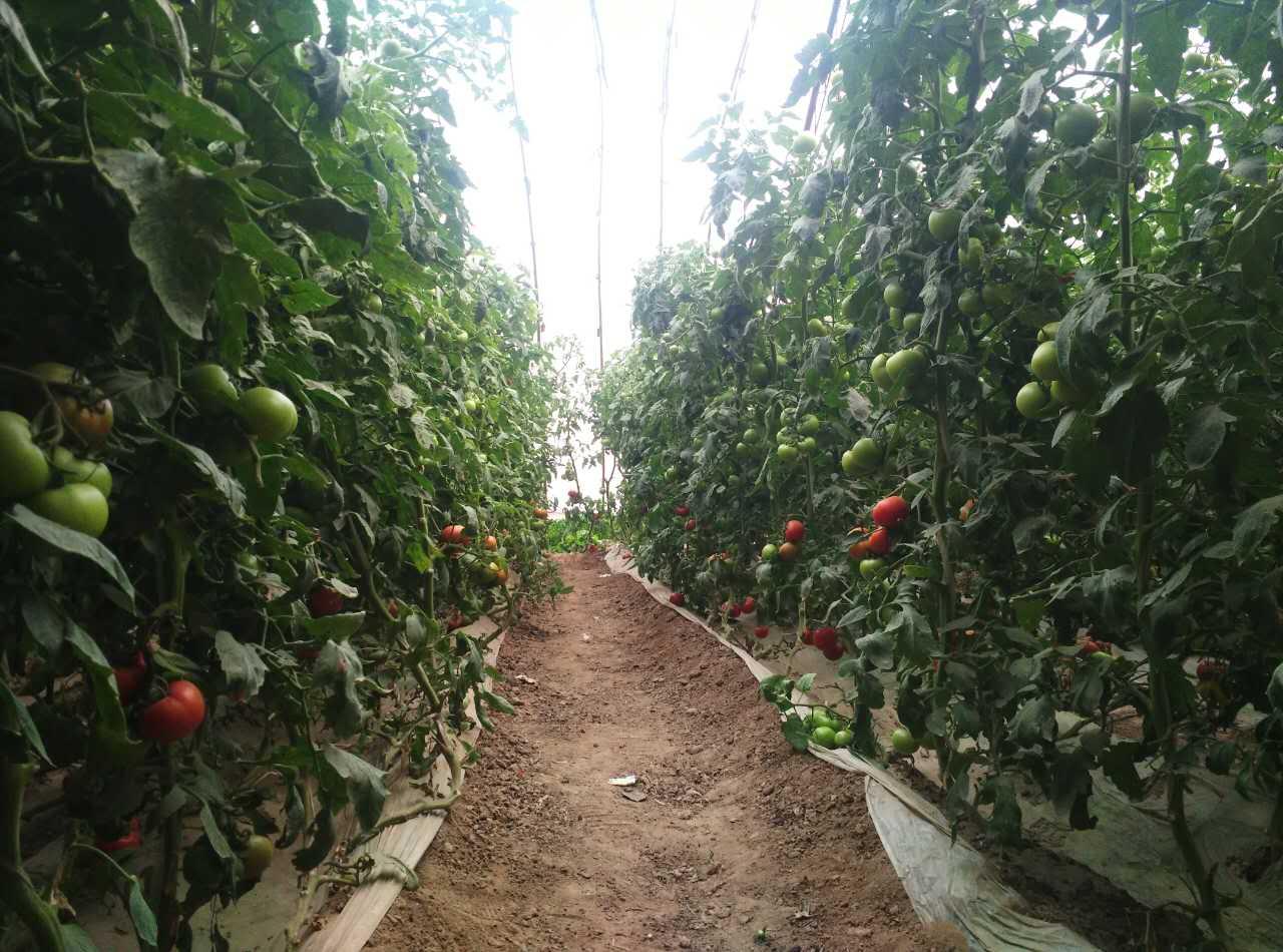 番茄1.jpg