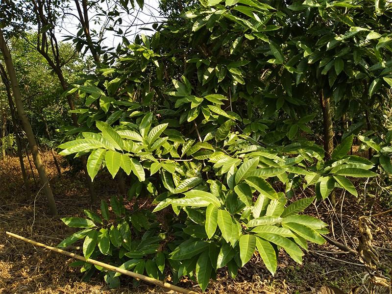 白玉兰苗|白玉兰-高要区回龙镇景丰苗木场