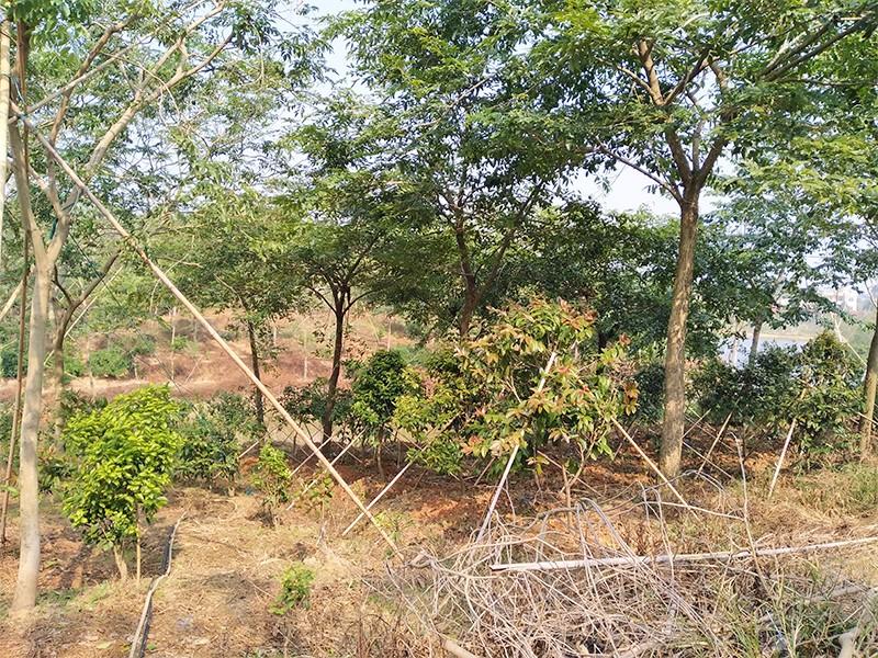 大果紫檀苗|大果紫檀-高要区回龙镇景丰苗木场