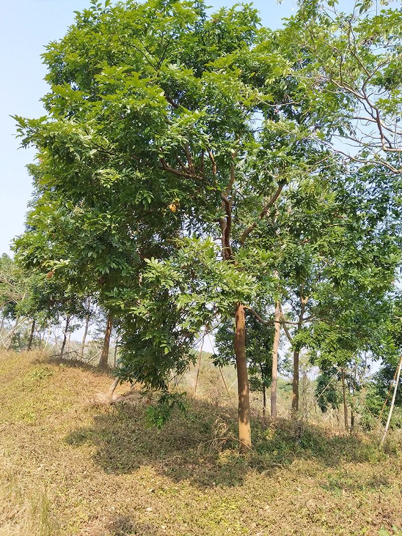 海南红豆|海南红豆-高要区回龙镇景丰苗木场