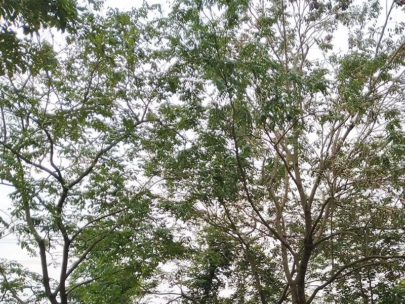 降香黄檀(黄花梨)|降香黄檀-高要区回龙镇景丰苗木场