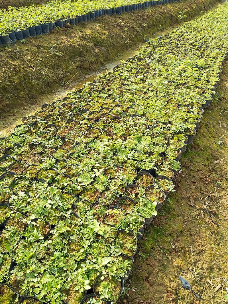 蛟趾黄檀(大红酸枝)细苗|大红酸枝-高要区回龙镇景丰苗木场