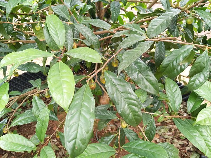 金花茶(珍贵树)|金花茶-高要区回龙镇景丰苗木场