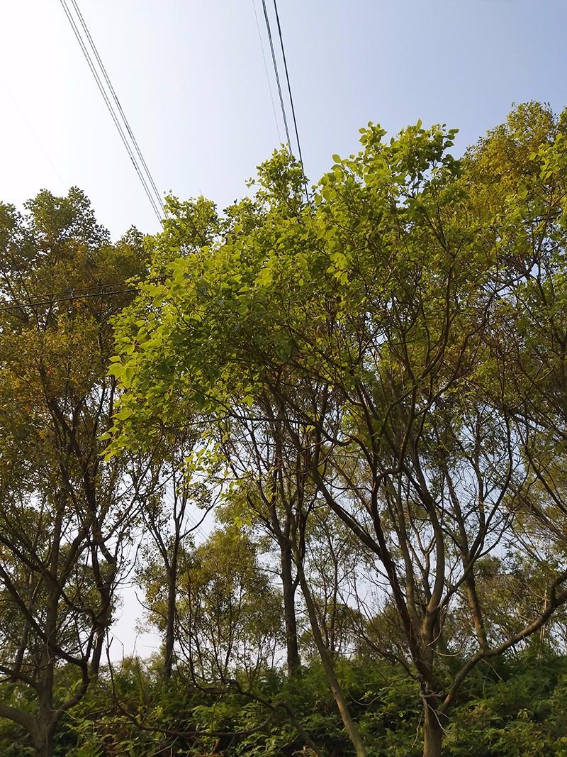 香樟|香樟-高要区回龙镇景丰苗木场