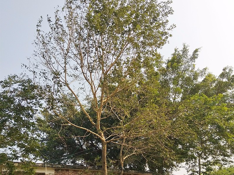 印度黄檀苗|印度黄檀-高要区回龙镇景丰苗木场