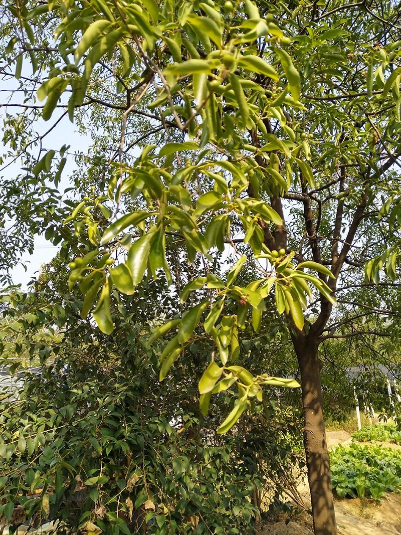 印度老山香|印度老山香-高要区回龙镇景丰苗木场