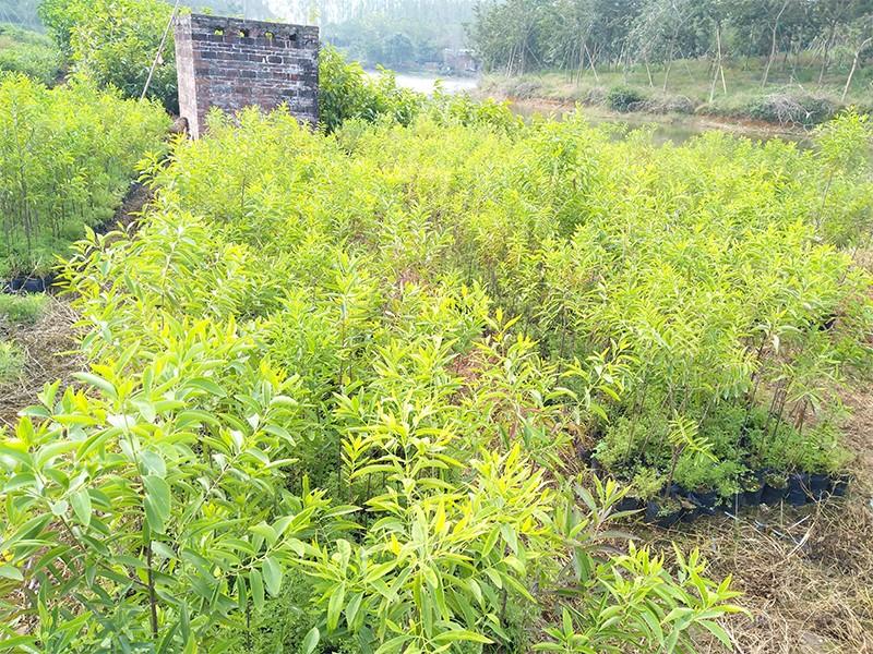 印度檀香苗|印度檀香-高要区回龙镇景丰苗木场