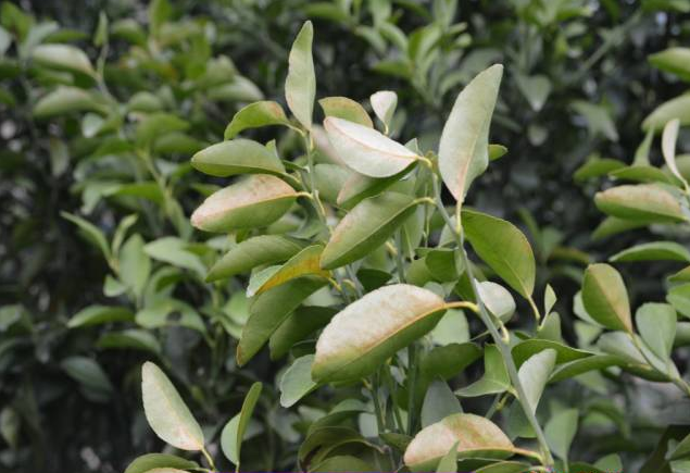 柑橘3.png