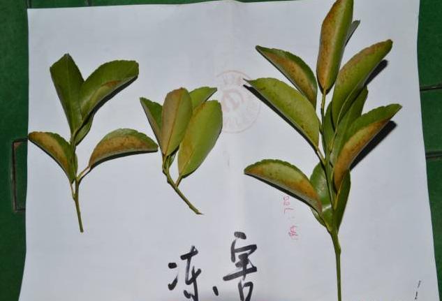 柑橘4.png