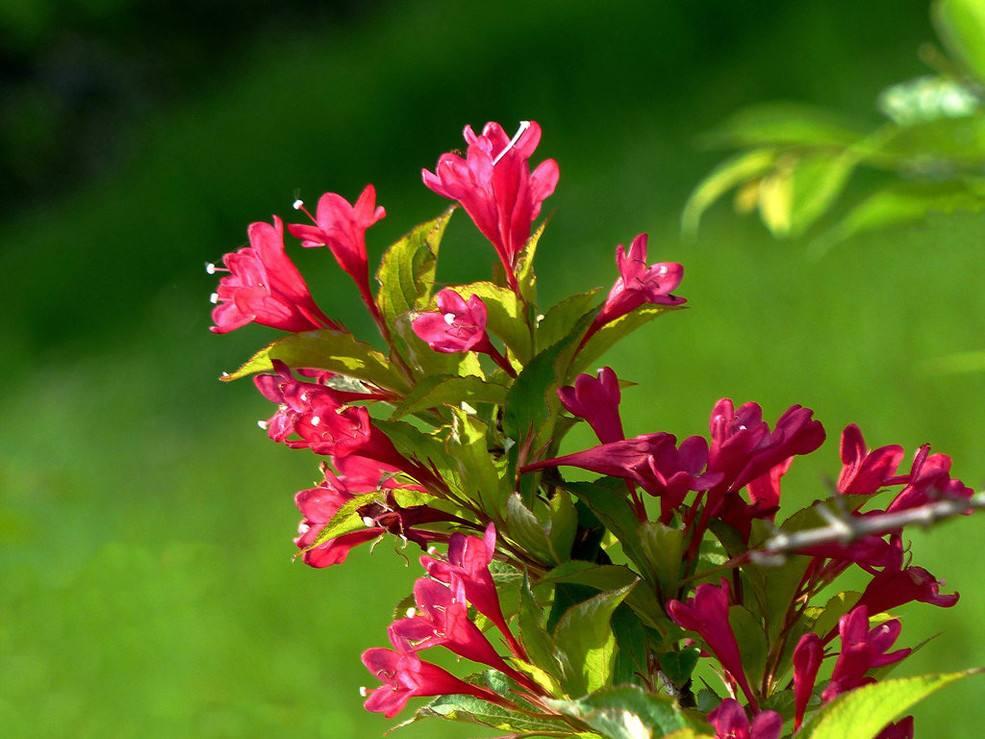 在众多园艺品种中,红王子锦带花期是比较长的 行业新闻-邳州市一舟银杏苗木购销部