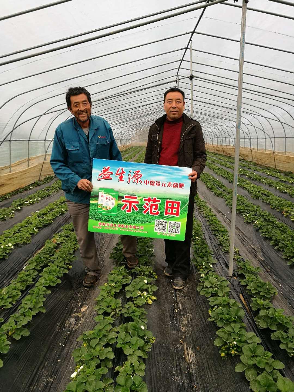 大棚草莓施用益生源效果|田间地头-南阳市益生源肥业有限公司