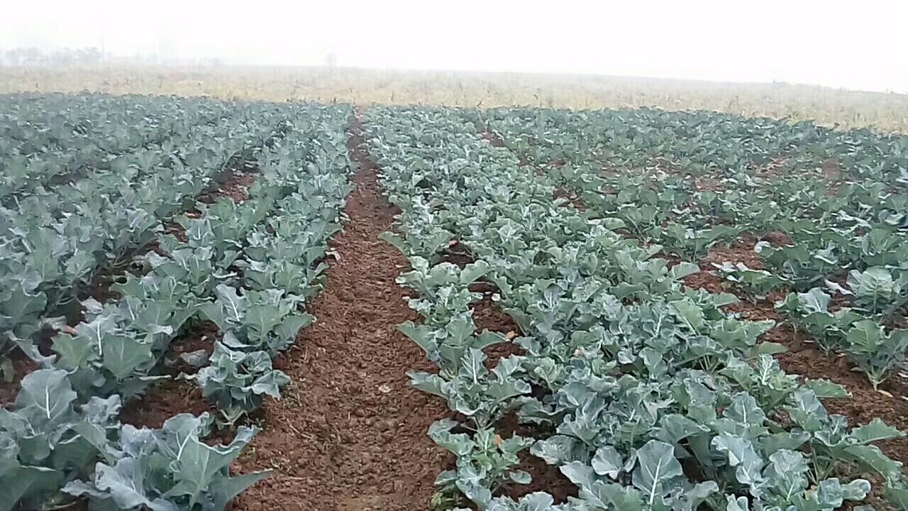 蔬菜上施用益生源菌肥的效果 田间地头-南阳市益生源肥业有限公司