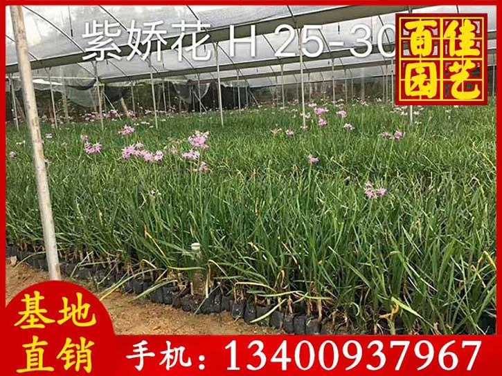 紫娇花-(5).jpg